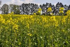 canola jaune sur la plantation polonaise photographie stock libre de droits
