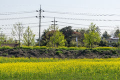 Canola kwiatów dorośnięcie parkiem Obraz Royalty Free