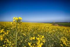 Canola kwiat Zdjęcia Royalty Free
