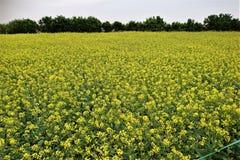 Canola kwiaty Zdjęcie Royalty Free