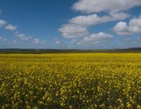 Canola kwitnie pod niebieskim niebem z bufiastymi chmurami Zdjęcia Stock