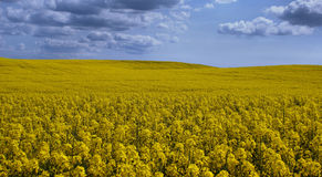 Canola Landscape 1 Stock Photos