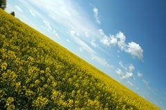 Canola landscape. Yellow canola landscape in Spring Stock Image