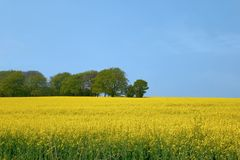 Canola landscape Royalty Free Stock Photo