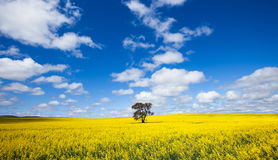 Canola Landscape Royalty Free Stock Photos