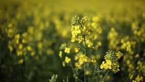 Canola. Low point of view footage of a canola and seed field stock video footage