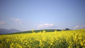 Canola. Low point of view footage of a canola and seed field stock footage