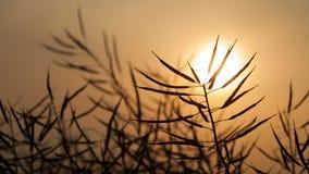 Canola maduro no fim do por do sol acima video estoque