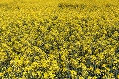Canola o campo e cielo blu gialli della violenza Paesaggio della natura della primavera Immagini Stock