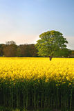 Canola Oak Tree. Rural England on a Summers Day stock photo