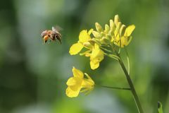 Canola and Bee Stock Image