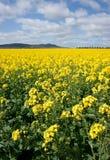 Canola op het landbouwbedrijfgebied Stock Foto