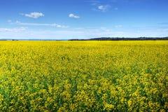 Canola ou zone cultivée par graine de colza Photos libres de droits