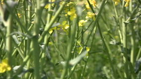 Canola panorama Royalty Free Stock Photography