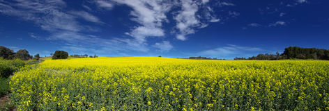 Canola Panoramic Royalty Free Stock Image