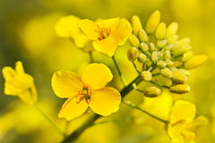 Canola plant. Outdoor photo of canola plant Royalty Free Stock Images