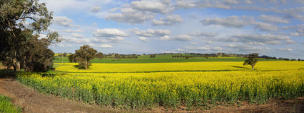Canola Plantation crop Stock Photo