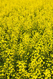 Canola plants Royalty Free Stock Photography