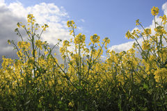 Canola plants Royalty Free Stock Images