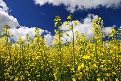 Canola plants in field Stock Photo