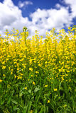 Canola plants in field Royalty Free Stock Photography