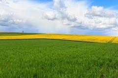 Canola pola w Niemcy Zdjęcia Stock