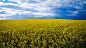 Canola pole Obrazy Royalty Free