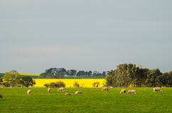 Canola pole blisko Ballarat Obraz Royalty Free