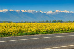 Canola pole i wysokie śnieżne góry, Fagaras, Carpathians, Rumunia Obrazy Stock