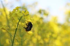 Canola pollinisé par abeille photos libres de droits