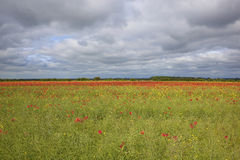 Canola and poppies Royalty Free Stock Images
