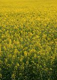 Canola/Rape. Blooming canola/rape filed in spring Stock Image