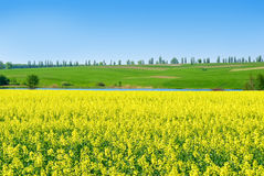 Canola,rape crop on the background of the blue sky Stock Photography