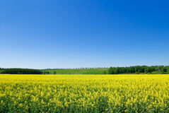Canola,rape crop on the background of the blue sky Royalty Free Stock Image