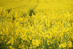 Canola or Rapeseed crop Royalty Free Stock Images