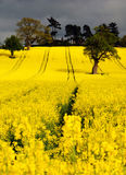 Canola or Rapeseed crop Stock Photo