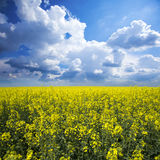 Canola, rapeseed crops Stock Photography