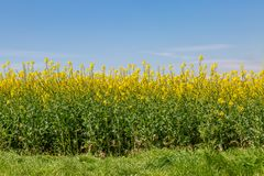 Canola/Rapeseed Crops in Spring stock photography