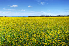 Canola or rapeseed cultivated field Royalty Free Stock Photos