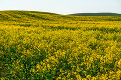 Canola or rapeseed field Royalty Free Stock Image