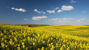 Canola or rapeseed field Stock Images