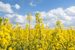 Canola_rapeseeds_fields Royalty Free Stock Photos