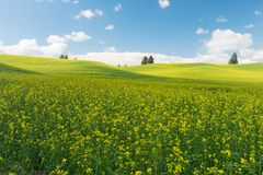 Canola. Rolling hills covered in canola flowers, Colfax, Washington royalty free stock photography