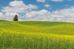 Canola. Rolling hills covered in canola flowers, Colfax, Washington royalty free stock images