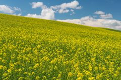 Canola. Rolling hills covered in canola flowers, Colfax, Washington royalty free stock photo