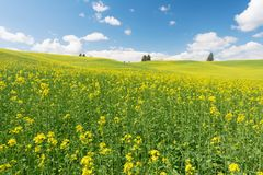 Canola. Rolling hills covered in canola flowers, Colfax, Washington royalty free stock image