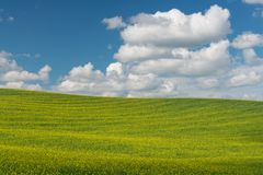 Canola. Rolling hills covered in canola flowers, Colfax, Washington stock photos
