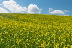 Canola Royalty Free Stock Photography