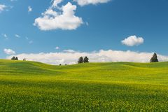 Canola. Rolling hills covered in canola flowers, Colfax, Washington royalty free stock photos