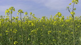Canola seed stock footage